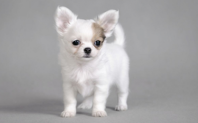 Common Health Issues with Chihuahuas