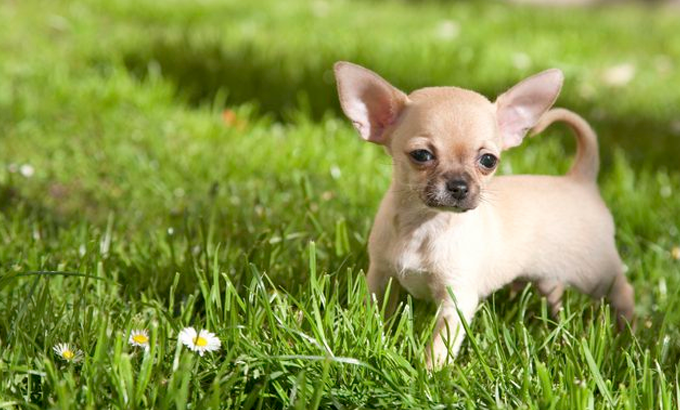 how to treat hypoglycaemia in chihuahuas