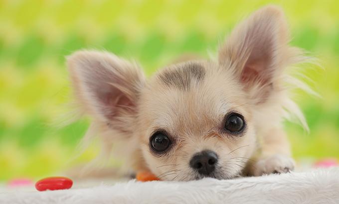 Long VS Short Haired Chihuahuas
