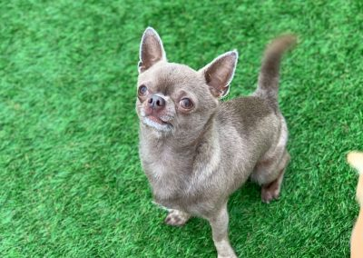 Pedro – Chihuahua