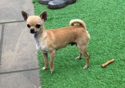Reggie – Chihuahua